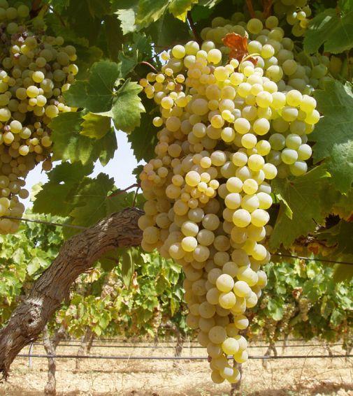 Resultado de imagen de viura uva